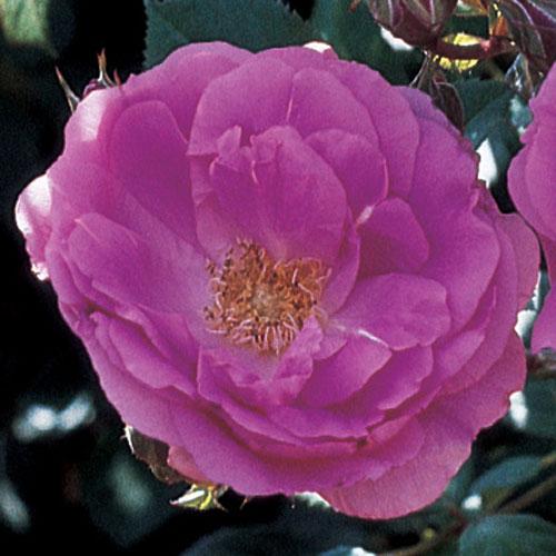 Morden Centennial Shrub Rose