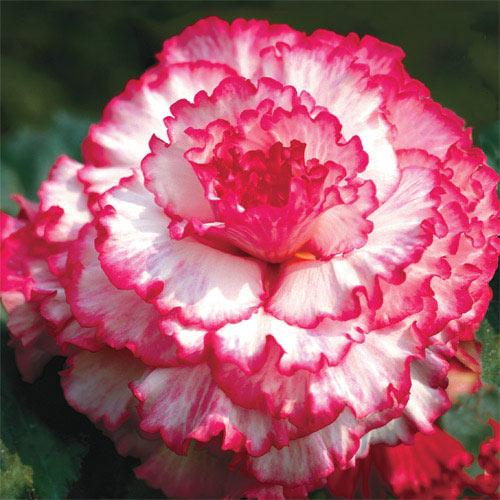 Prima Donna Dinnerplate Begonia Blush