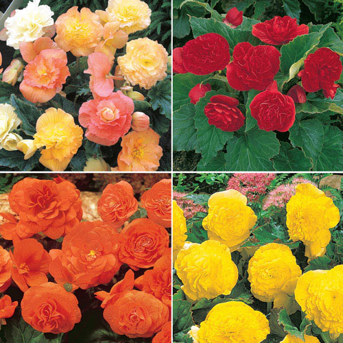 Breck's Roseform Begonia Collection
