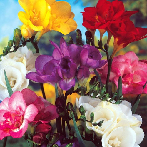Single Freesia Mixture - Buy Ten Get Ten Free!