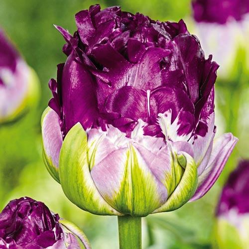Wow Tulip
