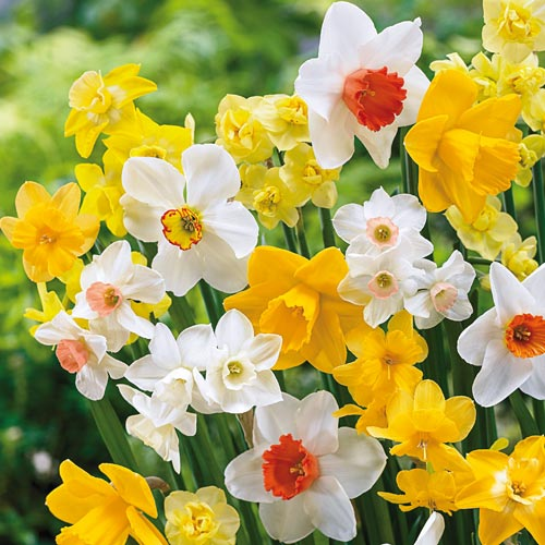 Late Spring Flowering Daffodil Mixture