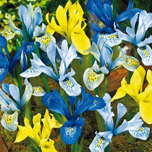 Orchid Iris Mixture