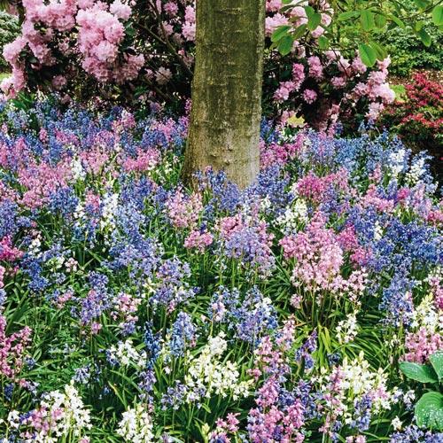 English Wood Hyacinth Mixture