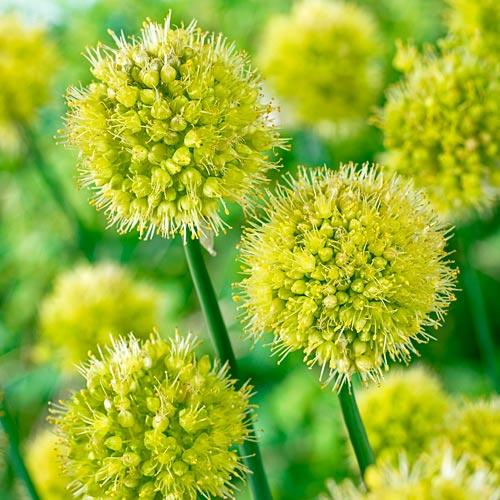 Obliquum Allium