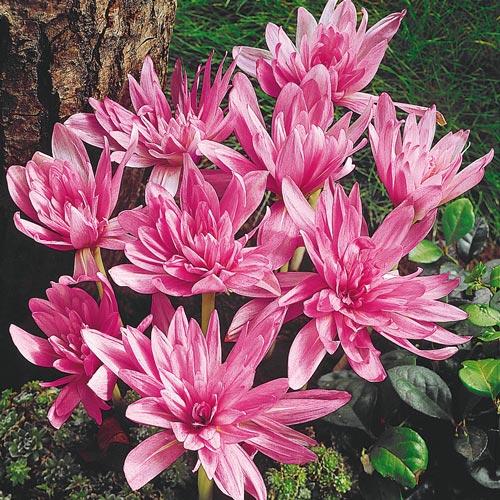 Waterlily Colchicum