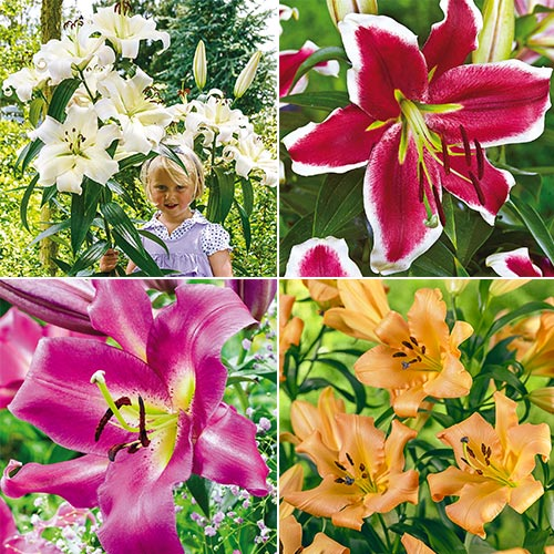 Happy Lily Tree Collection