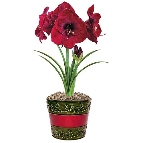 Colossal Benfica Amaryllis Single and Triple