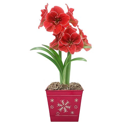 Magical Touch Amaryllis in Snowflake Pot