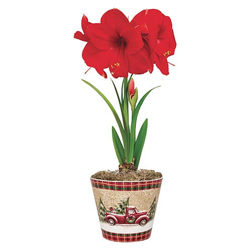 Miracle Amaryllis in Truck Pot