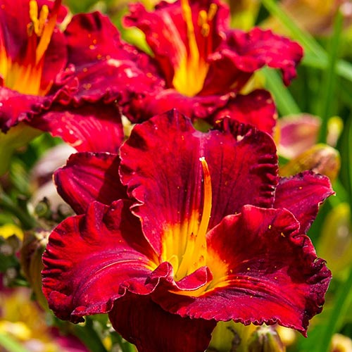 Lil' Red Wagon Daylily