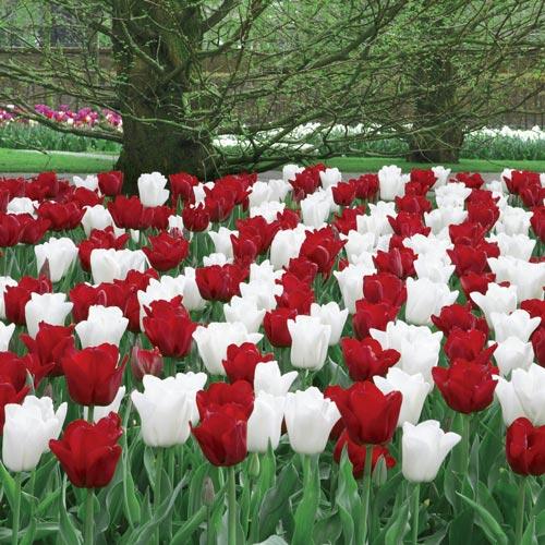 O Canada Tulip Duet