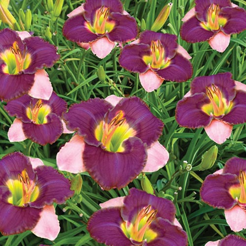 Dwarf Reblooming Daylily Collection Premium Dutch Flower Bulbs
