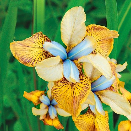 Flying Fiddles Siberian Iris