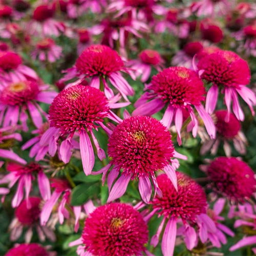 Double Scoop Bubble Gum Coneflower
