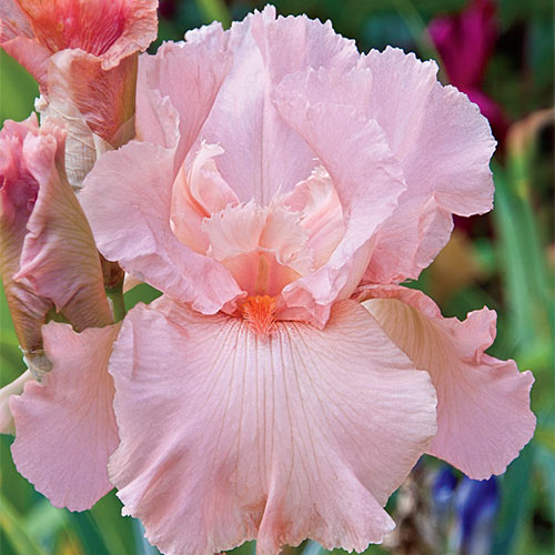 Magical Encounter Reblooming Bearded Iris