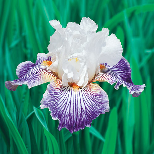 Crow's Feet Tall Bearded Iris