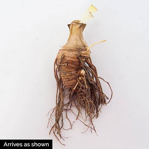 Twist of Sheree Tall Bearded Iris