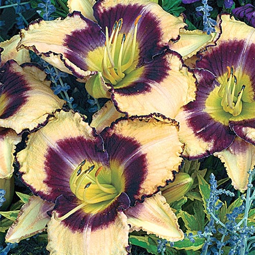 Celebration of Angels Daylily