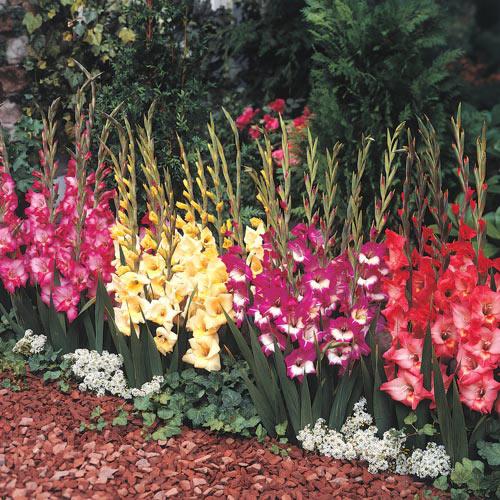 Glamini Gladiolus Collection