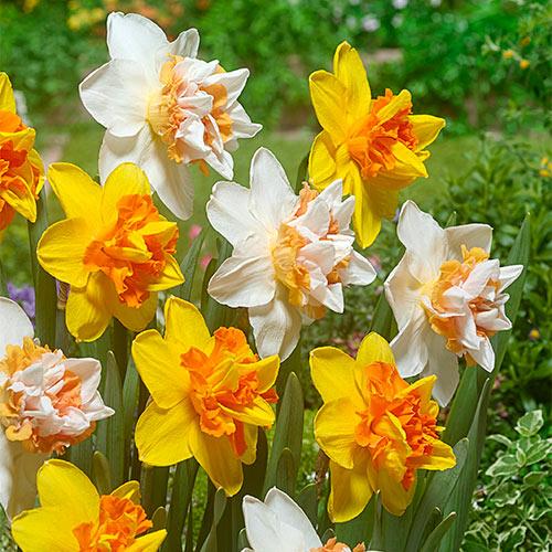 Extravaganza Daffodil Mixture