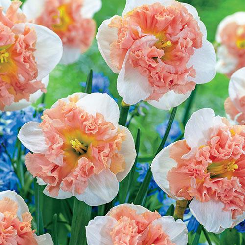 Raspberry Cream Daffodil