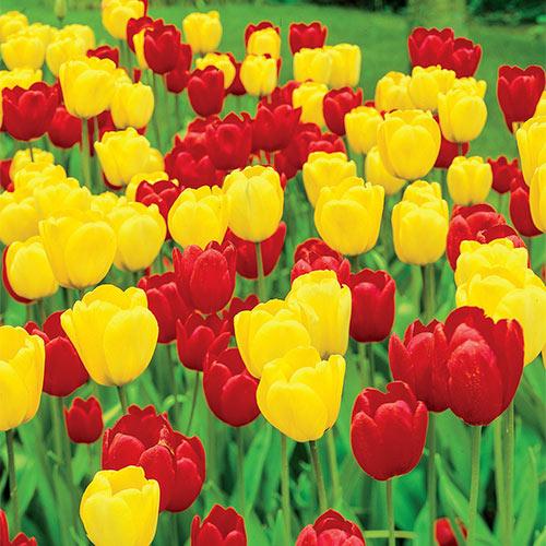 Long-Stemmed Perennial Tulip Duet Super Sak