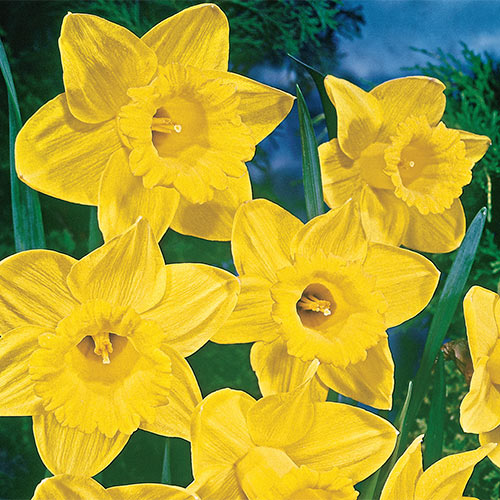 Yellow Trumpet Daffodils Super Sak