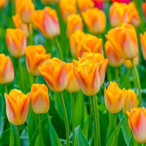 Golden Dynasty Tulip