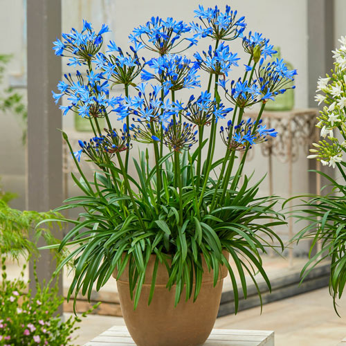 Summer Love Agapanthus Collection
