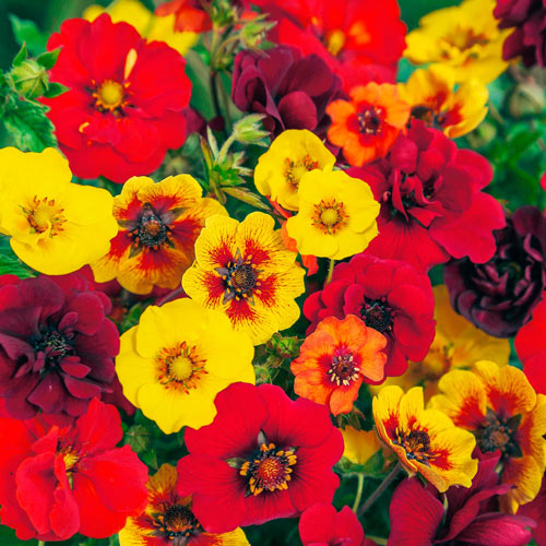 Cinquefoil Breeder Mixture