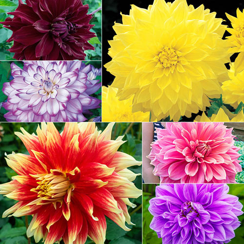 Dynamic Decorative Dahlia Collection