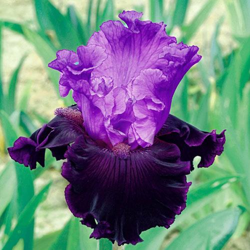 Dangerous Liason Bearded Iris