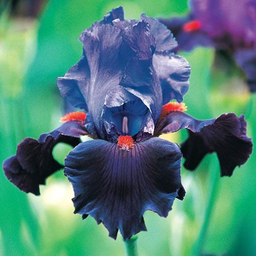 Romantic Evening Bearded Iris
