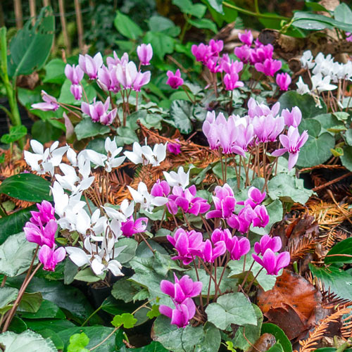 Hardy Fall Blooming Silver Leaf Cyclamen Mixture
