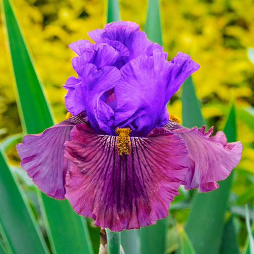 Nelly Tardivier Bearded Iris