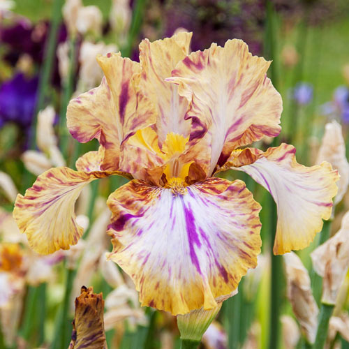 Toucan Tango Bearded Iris