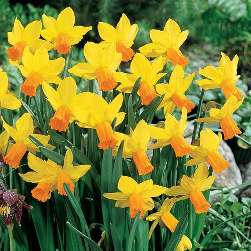 Jetfire Daffodil