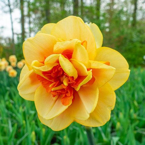 Waylon Daffodil