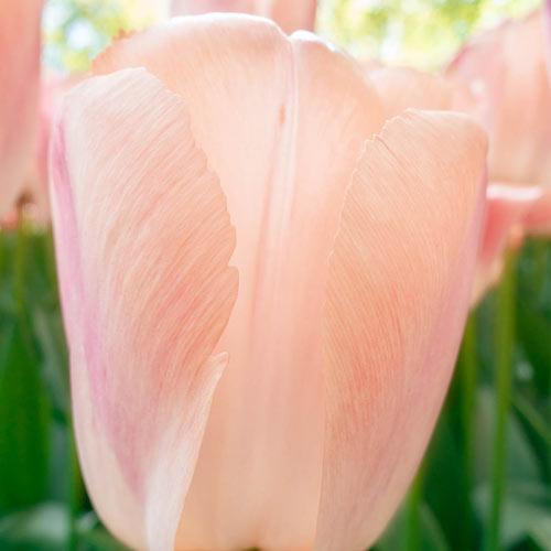 Apricot Pride Tulip