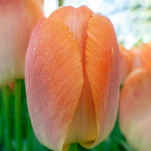 Orange Pride Tulip
