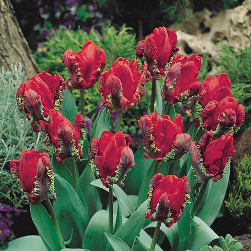 Rococo Tulip