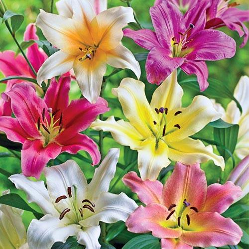 Lily Tree Mixture