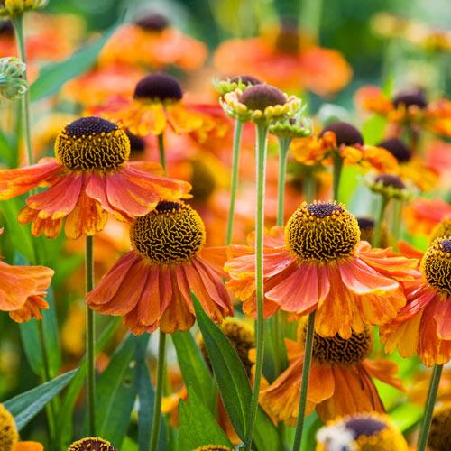 Sahins Early Flowerer Helenium