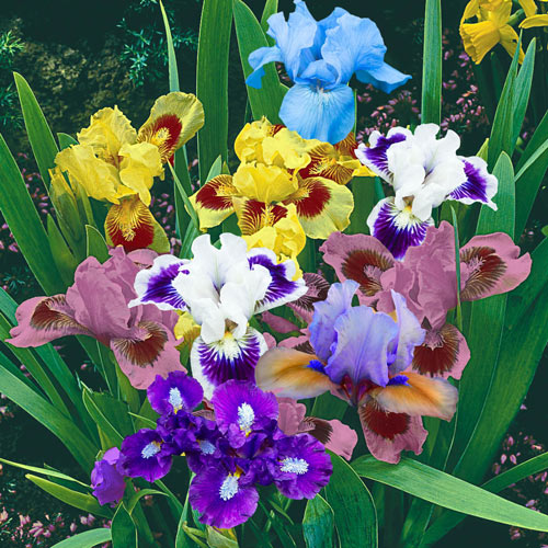 Dwarf Iris Mixture