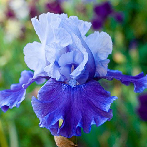 Mariposa Wizard Reblooming Bearded Iris