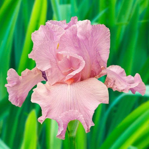 Wild Irish Rose Bearded Iris