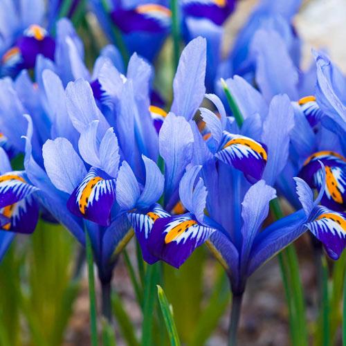 Alida Dwarf Iris