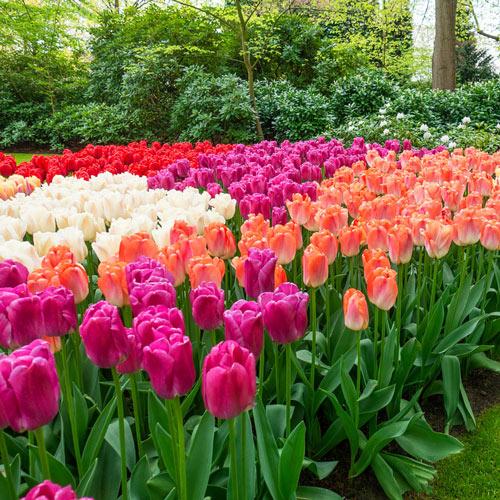 Pride Perennial Tulip Collection