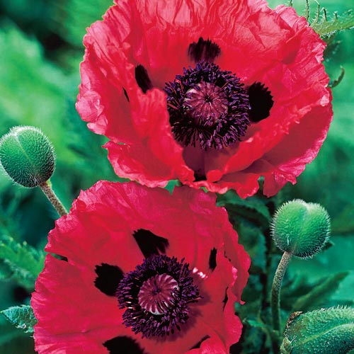 Oriental Poppy Watermelon